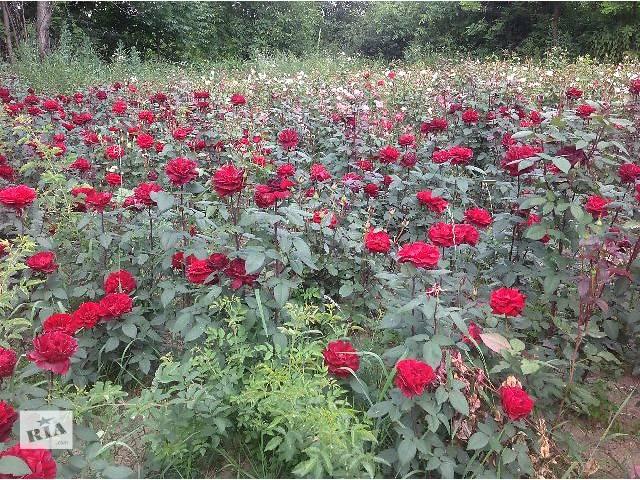 купить бу Красивоцветущие растения в Виннице