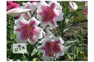 Оголошення Кімнатні рослини, розсада і квіти