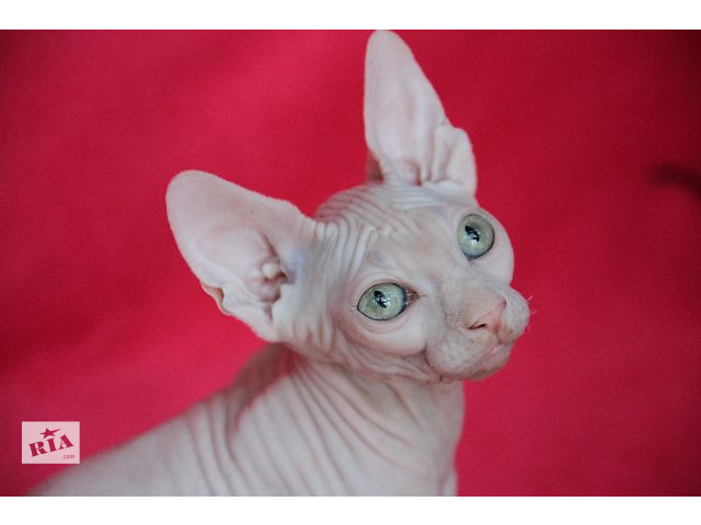 продам Красивые котята для элитных домов бу в Киеве