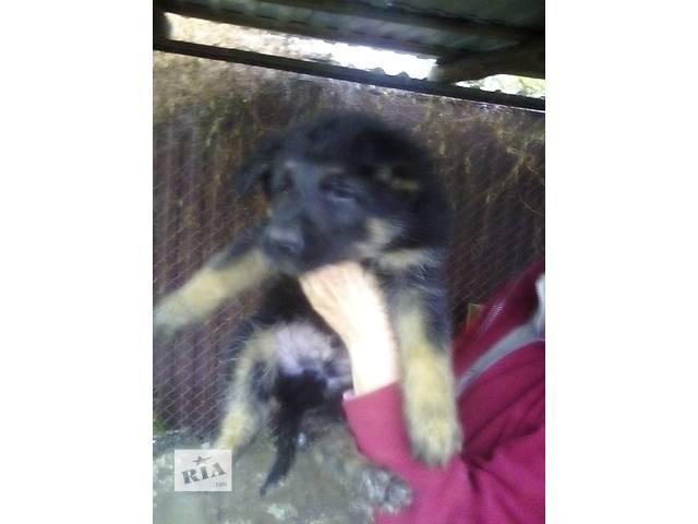 продам Красивые щенки бу в Ирпене