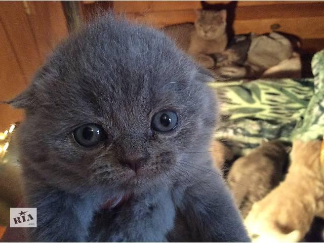 продам Красивые шотландские котята бу в Ужгороде