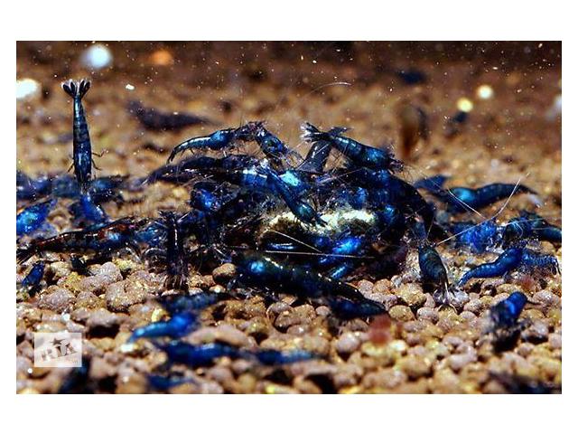 Креветки Blue Velvet/Blue Dream- объявление о продаже  в Одессе