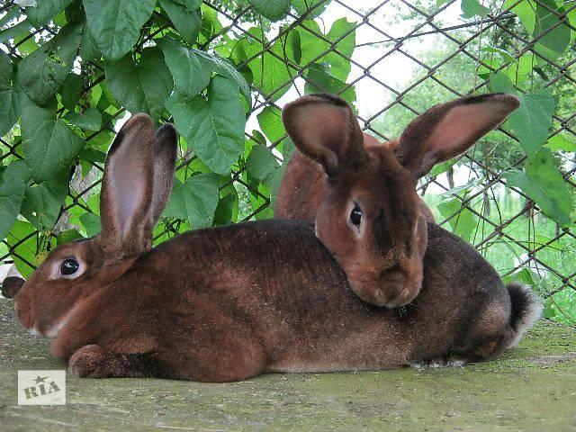 бу Кролики кастор-рекс в Дрогобыче