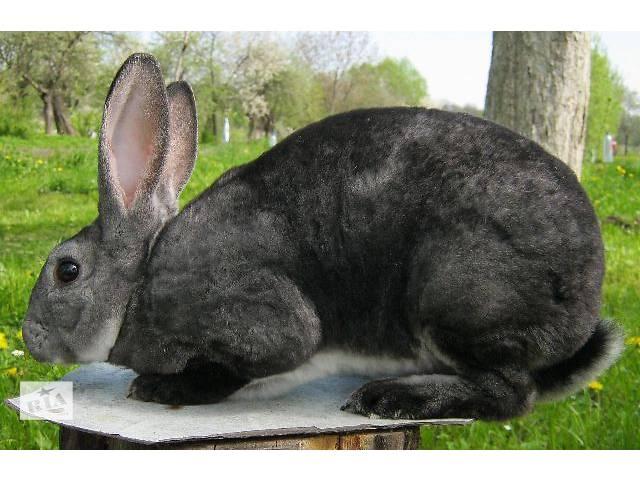 бу Кролики Рекс в Дрогобыче