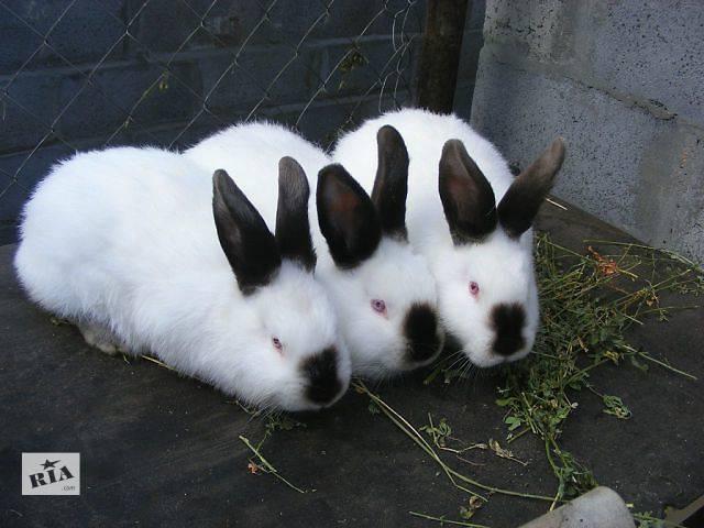 Кролик калифорнийской породы- объявление о продаже  в Кривом Роге