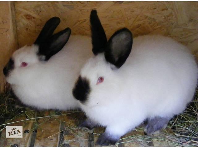 купить бу Кролик калифорнийской породы в Кривом Роге (Днепропетровской обл.)