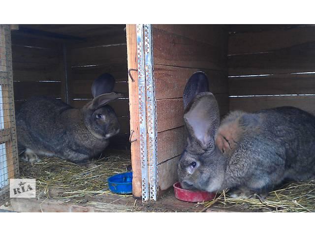 Кролики Бельгийский фландр- объявление о продаже  в Харькове