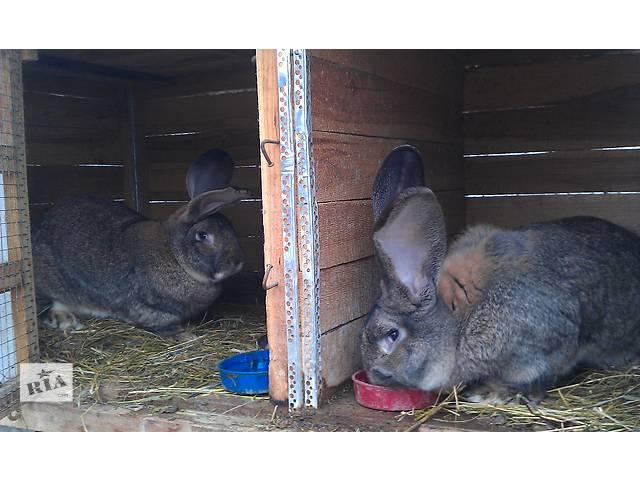 бу Кролики Бельгийский фландр в Харькове
