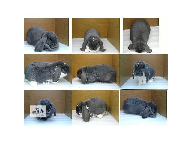 бу Кролики французский баран в Изяславе
