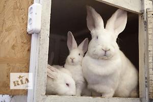 Кролики на племя: НЗБ (производственная линия), БСС