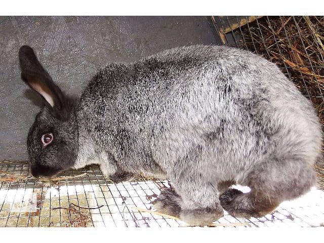 Кролики породы Полтавское серебро- объявление о продаже  в Севастополе