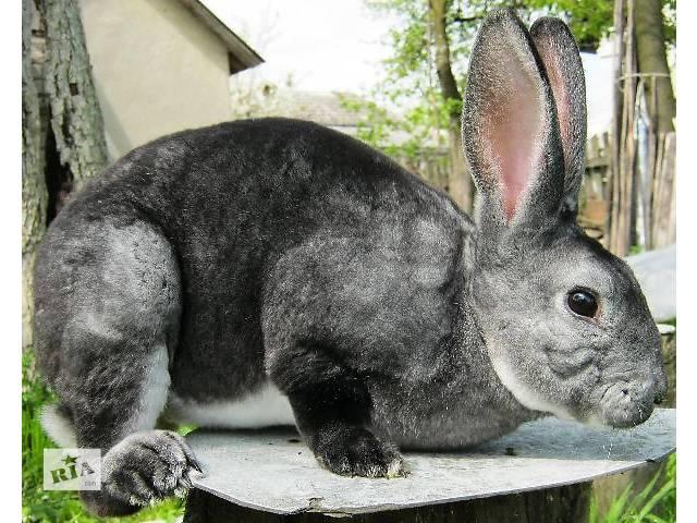 бу Кролики Рекс (шиншила, кастор)  в Дрогобыче