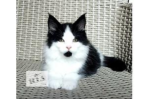 Кошки, коты, котята в Луганске - объявление о продаже Вся Украина
