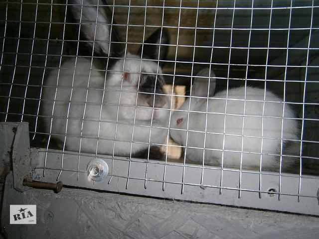 бу Покупайте кролики породы Калифорнийская в Лановцах