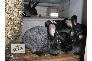 Купити кроликів порід Каліфорнійський і Полтавське срібло