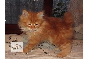 Курильский бобтейл. Чистопородные котята