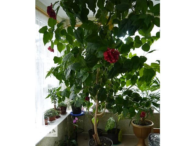 Китайска троянда - символ сімейного щастя- объявление о продаже  в Коломые