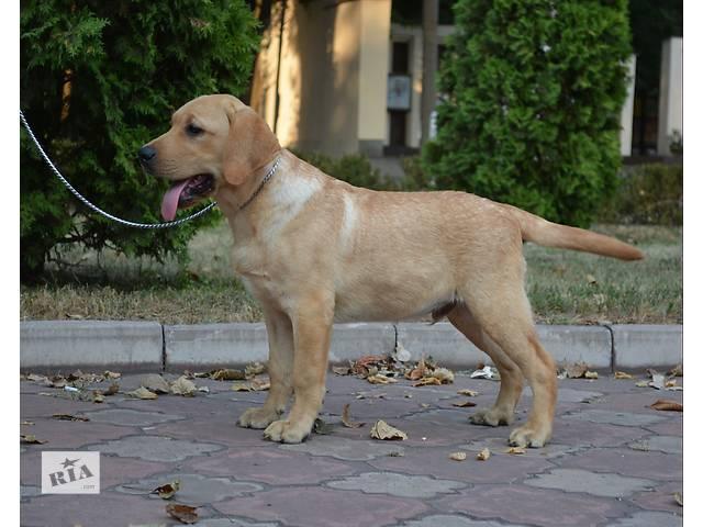 Лабрадор ретривер палевые щенки- объявление о продаже  в Запорожье