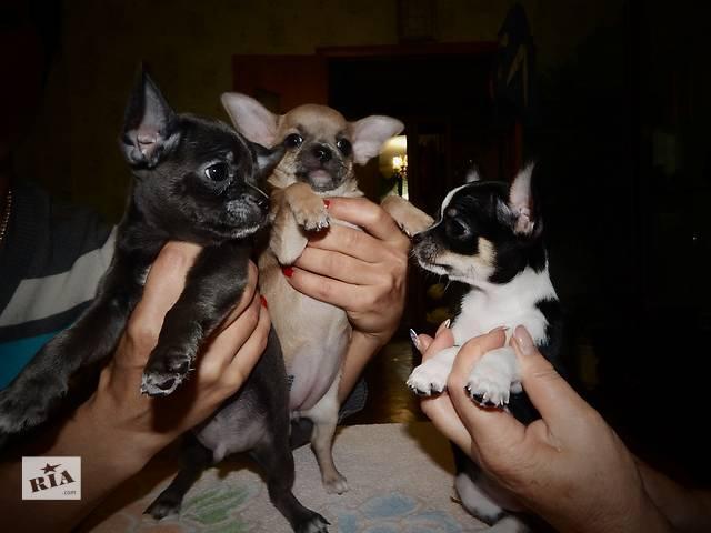 Ласковые малыши чихуахуа ищут любящих родителей- объявление о продаже  в Славянске