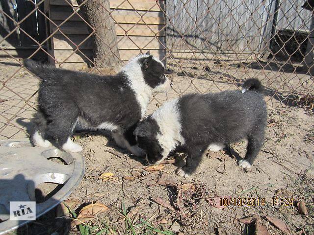 Собаки порода: метисы лайки щенки метисы русско-европейской лайки в очень добрые руки