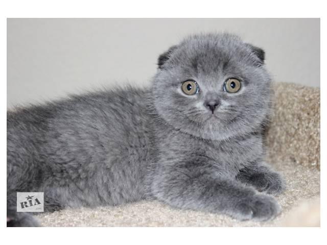 продам Лучший подарок шотландский котенок бу в Харькове