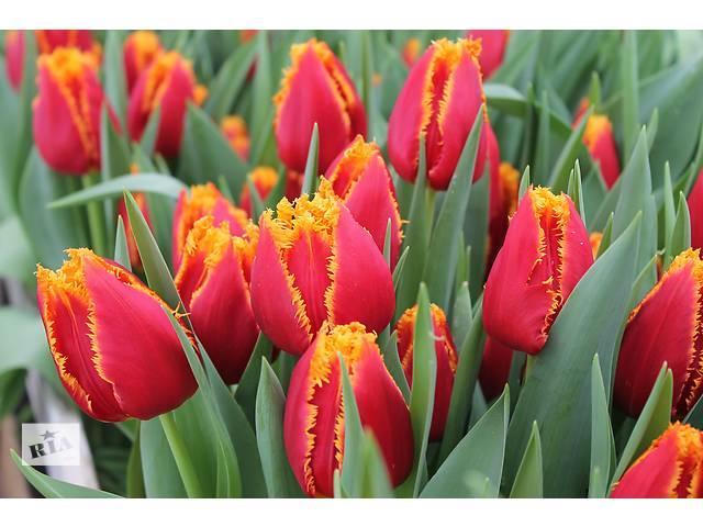 купить бу Луковицы тюльпанов для выгонки из Голландии. Опт. от 100 шт. в Харькове