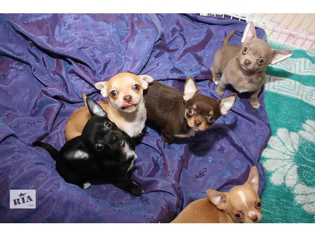 продам щенки  чихуахуа бу в Чернигове