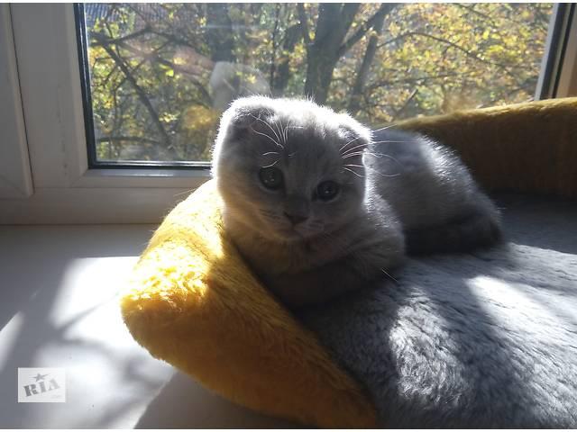 продам Лиловый Вислоухий котенок бу в Днепре (Днепропетровске)