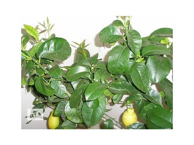 Лимон Лунарио (Четырёхсезонный)- объявление о продаже  в Днепре (Днепропетровске)