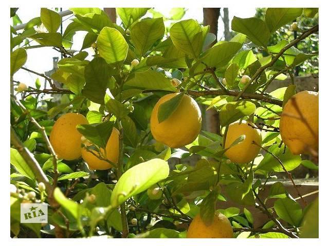 бу Лимон Новогрузинский (питомник Exotic Jungle) в Днепре (Днепропетровске)