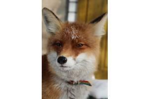Домашние лисы