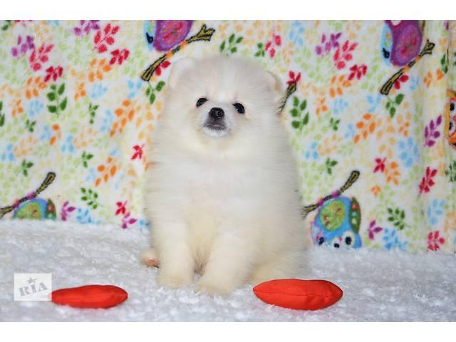 Девочка белого померанского шпица (цвергшпиц) тип мишка, доставка- объявление о продаже  в Кривом Роге (Днепропетровской обл.)