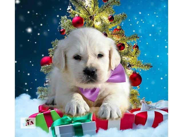 Мальчик, фиолетовая ленточка, роскошные щенки золотистого голден ретривера от Мультичемпиона.- объявление о продаже  в Киеве