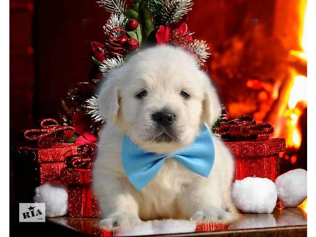 купить бу Мальчик, голубая ленточка, великолепные щенки золотистого голден ретривера от Мультичемпиона. в Киеве