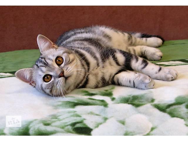 бу Мальчик-красввчик. Британский котик в Запорожье