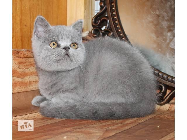 купить бу Шотландский котенок голубого окраса,Одесса в Одессе