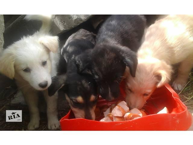 Маленькие щенки ждут хозяина- объявление о продаже  в Киеве