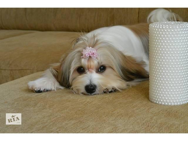 бу Очаровательные породистые-щенки Украинского колор тоя в Ивано-Франковске