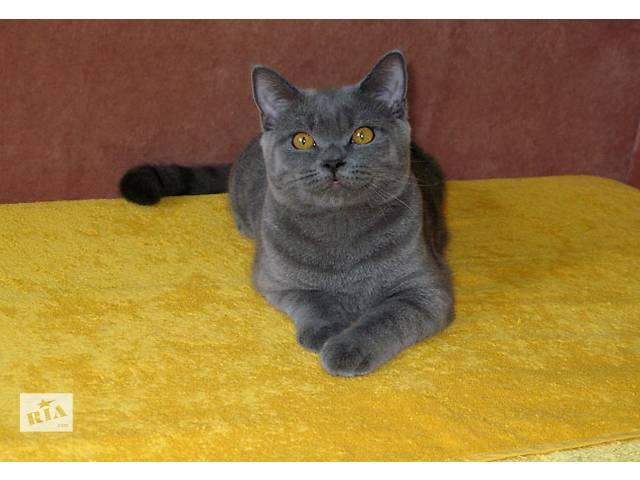 бу Мечты сбываются! Шикарный британский котик-подросток готов к переезду. в Киеве