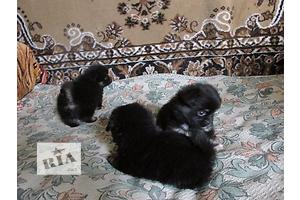 Месячные мальчики померанского шпица в медвежьем типе