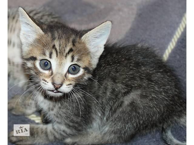 купить бу Метис бенгальской кошки в Киеве