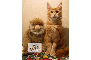 Мейн кун золотой котенок