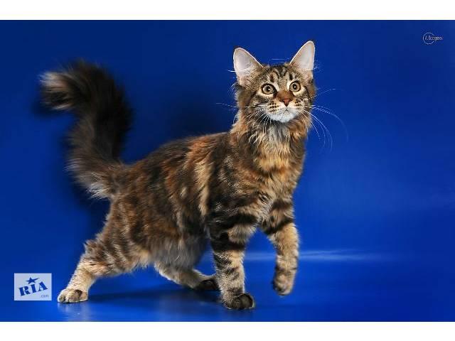 порода мейн-кун котята фото