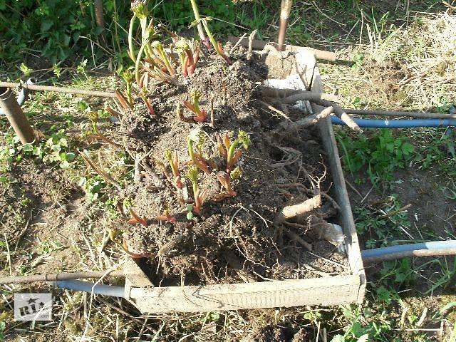 купить бу многолетние кусты пионов в Баре
