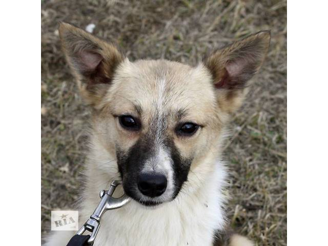 продам Молоденькая собачка небольших размеров ищет  семью!  бу в Киеве