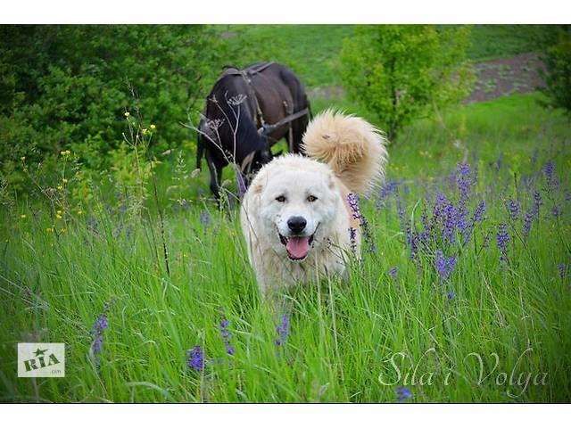 продам Молодые обученные собаки, кавказская овчарка, для охраны бу в Киеве