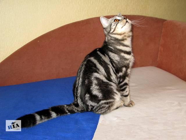 Мраморный Британский котик. Ласковый и общительный- объявление о продаже  в Запорожье