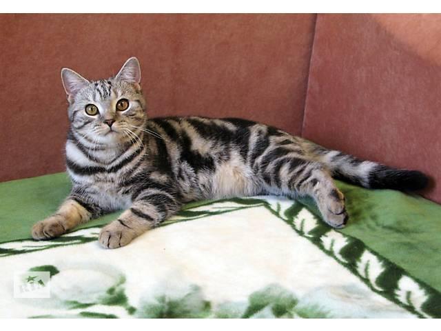продам Мраморный Британский котик. Видео бу в Запорожье