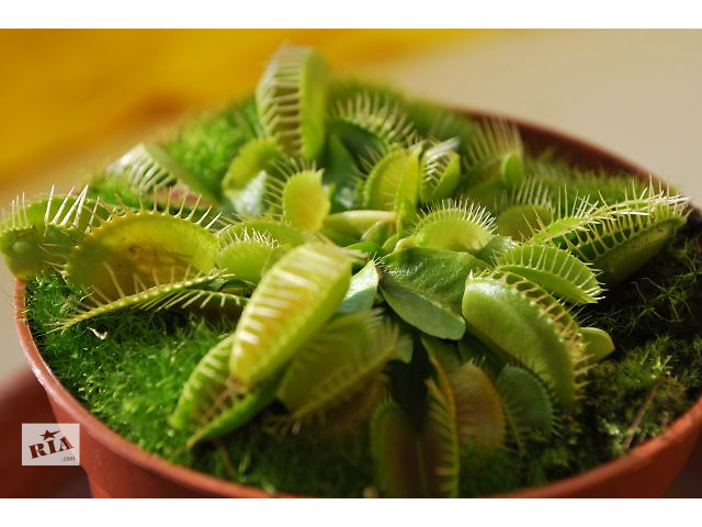 купить бу Мухоловка  растение хищник  Венерина купить в Ужгороде