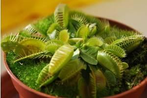 Комахоїдні рослини